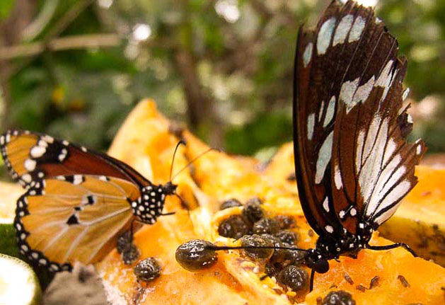 Excursion of the Butterflies